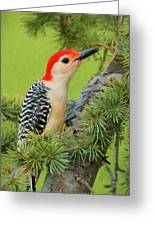 Male Red Bellied Woodpecker In A Tree Greeting Card