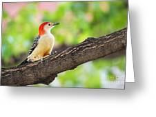 Male Red-bellied Woodpecker Greeting Card