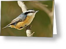 Male Red Breasted Nuthatch 2151 Greeting Card