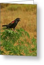 Male Red-winged Blackbird Singing Greeting Card