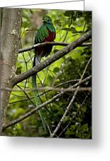 Male Resplendent Quetzal Greeting Card by Roy Toft