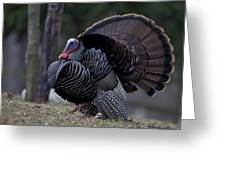 Male Wild Turkey, Meleagris Gallopavo Greeting Card