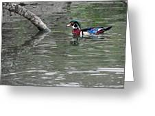 Drake Wood Duck On Pond Greeting Card