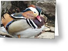 Male Wood-duck Greeting Card