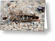 Male Wrinkled Grasshopper Greeting Card