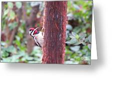 Male Yellow-bellied Sapsucker Greeting Card