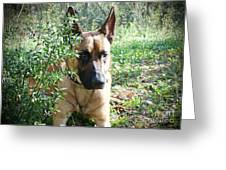 Malinois Greeting Card