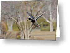 Mallard Approach Greeting Card