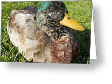 Mallard Close Up Greeting Card