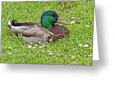 Mallard Drake In The Grass Greeting Card