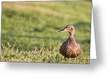 Mallard Duck Anas Platyrhynchos, Female Greeting Card