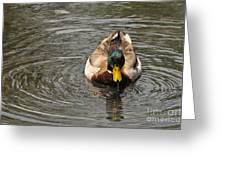 Mallard Duck Drake With Water Droplets On Bill Greeting Card
