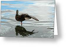 Mallard Duck Hen Stretching Wing Greeting Card