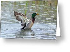 Mallard Duck Landing In Pond Greeting Card