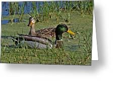 Mallard Duck Pair Greeting Card