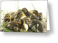 Mallard Ducklings Greeting Card