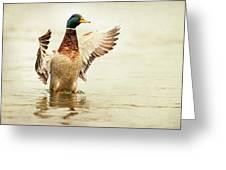 Mallard Greeting Card by Everet Regal
