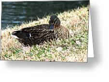 Mallard Female 1 Greeting Card