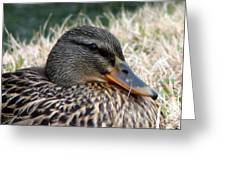 Mallard Female 2 Greeting Card