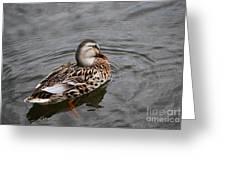 Mallard Hen 20130924_309 Greeting Card