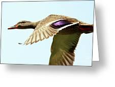 Mallard In Flight . 40d5450 Greeting Card