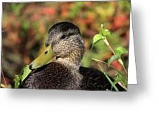Mallard In The Fall Greeting Card