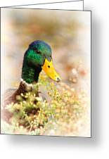 Drake In The Flowers Greeting Card