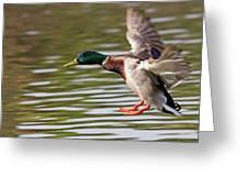 Mallard Landing Greeting Card