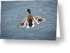 Mallard Male Flying Greeting Card