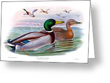 Mallard Or Wild Duck Antique Bird Print Joseph Wolf Birds Of Great Britain  Greeting Card