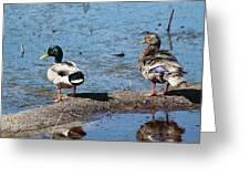 Mallard Pair-chincoteague National Wildlife Refuge Greeting Card