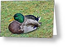 Mallard Resting Greeting Card