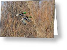 Mallard's In Flight Greeting Card
