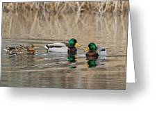 Mallards On The Pond Greeting Card