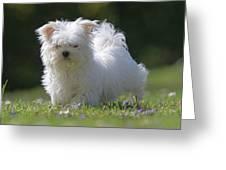 Maltese And Daisy Greeting Card
