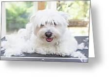 Maltese Dog Is Laying Next To Pile Of Hair Greeting Card