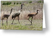 Mama And Two Juvenile Sandhill Cranes Greeting Card