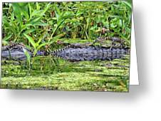 Mama Gator With Babies Greeting Card