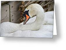 Mama Swan At Abbotsbury Greeting Card