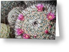 Mammillaria Cactus With Small Flowers Greeting Card