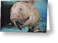 Manatee Swimming Underwater Greeting Card