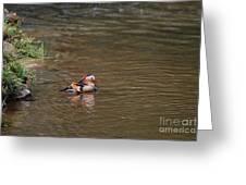 Mandarin Duck 20130508_314 Greeting Card