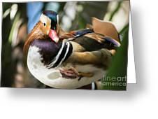 Mandarin Duck Raising One Foot. Greeting Card