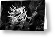 Mandarin Honeysuckle Vine 1 Black And White Greeting Card