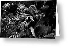 Mandarin Honeysuckle Vine 2 Black And White Greeting Card