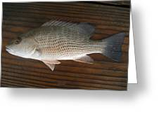 Mangrove Snapper Greeting Card
