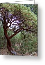 Manzanita Tree By The Road Greeting Card