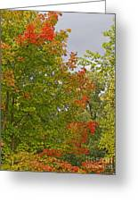 Maple Aflame Greeting Card