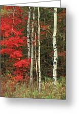 Maple And The Birch Greeting Card