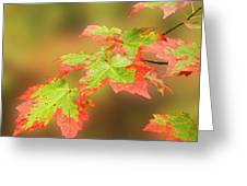 Maple Leaves Changing Greeting Card